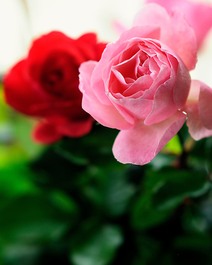 A pink and red rose together