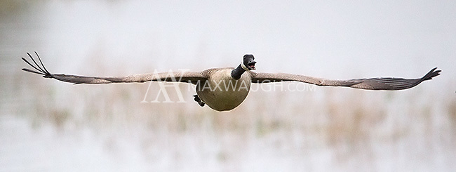 A Canada goose honks away mid-flight.