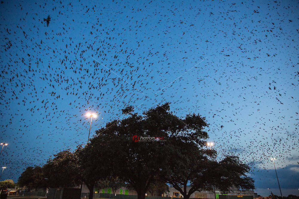 A flock of 100,000 Purple Martins (Sparrows) come together and roost in the three live oak trees at Highland Mall in Austin, Texas.