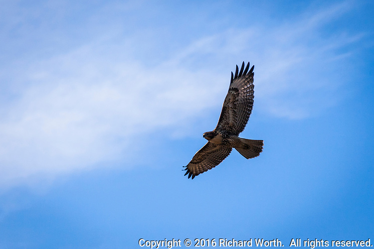 A hawk with wings spread wide flies over a neighborhood park along San Francisco Bay's eastern shores.
