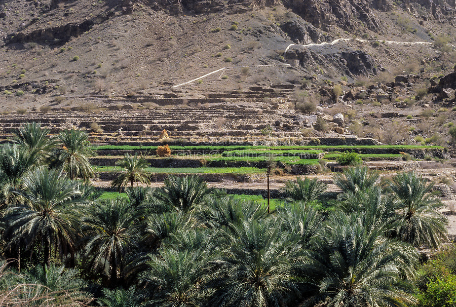 Wadi Bani Kharus, Oman.  Irrigation Canal (Falaj) Comes down the Mountain in the distance, watering terraced fields in the foreground.