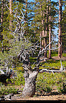 Limber Pine, Cassidy Trail, Red Canyon, Dixie National Forest, Utah