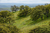 Oregon Oaks, Columbia Hills State Park, Washington