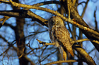 Great Gray Owl (Strix nebulosa) still huntng from the edge of a woodlot in winter. Ontario, Canada.