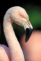Greater Flamingo (Phoenicopterus roseus), captive