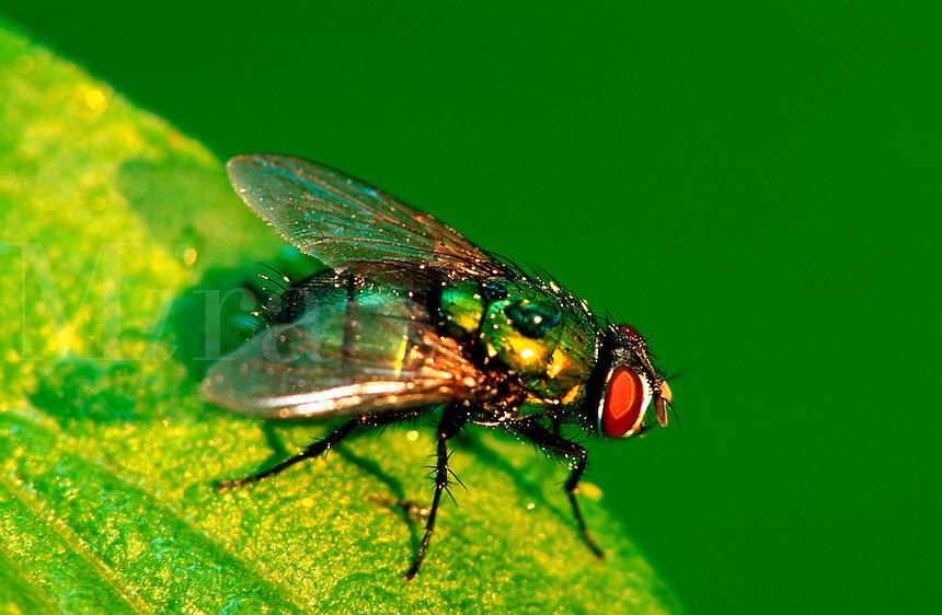 A Green Bottle Fly (phaenicia sericata)on a leaf.