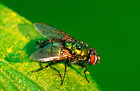 A Green Bottle Fly (phaenicia sericata)on a leaf.