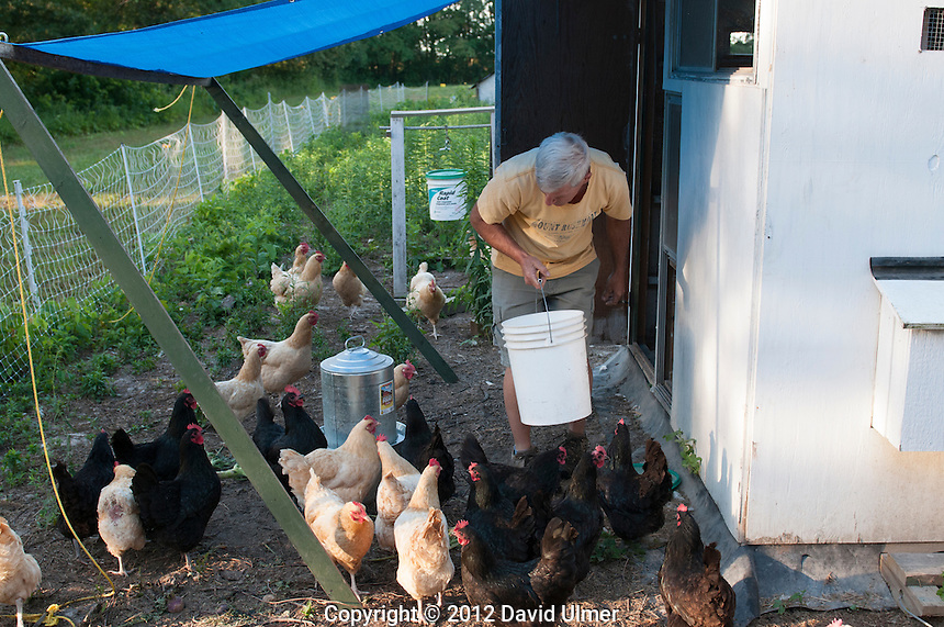 An organic gardener tends his laying hens in Greenville, Illinois.