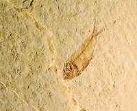 FOSSIL FISH: Knightia eocaena - Diplomystus<br /> Cenozoic Era - Eocene epoch (50 million years ago)<br /> Knightia was a schooling fish which is sometimes found in mass mortality layers confined to a single plane, indicative of a single event.  From Green River WY.  Grew to max size of 25 cm.