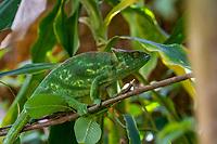 Africa; Madagascar, Analamazaotra special reserve in Andasibe-Mantadia National Park. Female Parson's chameleon.