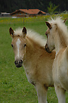 Palomino Foals in pasture, Imst district, Austria.