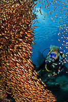 Parapriacanthus ransonneti, Schule von Glasfischen mit Taucher, japanisches Schiffswrack Schiffwrack, school of Pigmy sweeper with scuba diver, Japanese shipwreck, Bali, Indonesien, Indopazifik, Indonesia Asien, Indo-Pacific Ocean, Asia