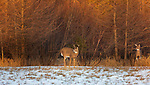 White-tailed buck and doe in a winter field.