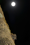 Sugar Glider (Petaurus breviceps) feeding on nectar from a tree trunk with a full moon background..
