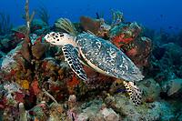 hawksbill sea turtle, Eretmochelys imbricata, Hangover Reef, Sint Eustatius (Saint Eustace), aka Statia or Statius, Netherlands, Caribbean Sea, Atlantic Ocean