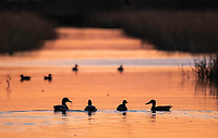 Northern Shovelers, Anas clypeata, at sunset in Sacramento National Wildlife Refuge, California