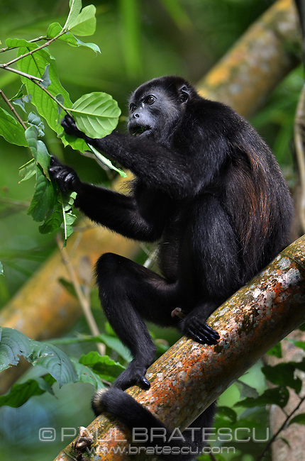 Mantled Howler Monkey (Alouatta Palliata) Spanish name: Congo