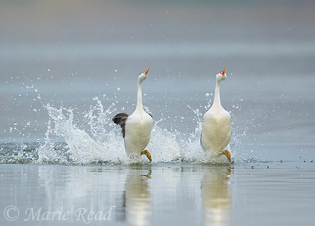 "Clark's Grebes (Aechmophorus clarkii) pair during ""rushing"" courtship display, Escondido, California, USA"