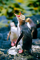 yellow-eyed penguin chick (endangered & endemic), Megadyptes antipodes, Enderby Island, New Zealand