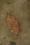 Beech leaf on stone
