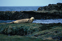 jz1656. Harbor Seal (Phoca vitulina) rests on sea grass covered rocks at low tide. Oregon, USA, Pacific Ocean..Photo Copyright © Brandon Cole. All rights reserved worldwide.  www.brandoncole.com..This photo is NOT free. It is NOT in the public domain. This photo is a Copyrighted Work, registered with the US Copyright Office. .Rights to reproduction of photograph granted only upon payment in full of agreed upon licensing fee. Any use of this photo prior to such payment is an infringement of copyright and punishable by fines up to  $150,000 USD...Brandon Cole.MARINE PHOTOGRAPHY.http://www.brandoncole.com.email: brandoncole@msn.com.4917 N. Boeing Rd..Spokane Valley, WA  99206  USA.tel: 509-535-3489