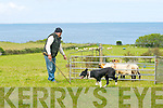 Mike O'Dowd Tralee, with his Dog spot seeing the sheep into their penn at the Camp Shearing and Dog trials on Sunday............