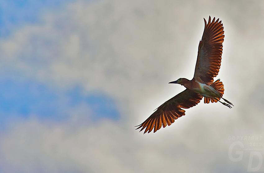 Rufous Night-Heron (Nycticorax caledonicus)Palawan, Philippines