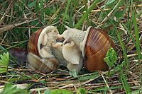 Weinbergschnecke, Paarung, Kopulation, Kopula, Weinberg-Schnecke, kriecht über eine Mauer, Steinmauer, Helix pomatia, Roman snail, escargot, escargot snail, edible snail, apple snail, grapevine snail, vineyard snail, vine snail, pairing, copulation