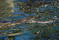 indian Gharial Chitwan National Park in Nepal