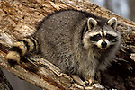 Racoon (Procyon lotor) - captive, climbing on tree trunk, showing whole body and striped tail.USA....