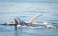 blue whale, Balaenoptera musculus, feeding on krill at surface, Nine-mile Bank, San Diego, California, USA, Pacific Ocean