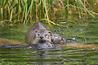 Northern River Otter (Lontra canadensis) mom with two pups.  Western U.S., June..