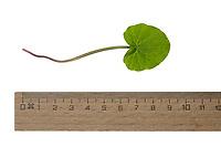 Scharbockkraut, Feigwurz, Frühlings-Scharbockskraut, Scharbock-Kraut, Ranunculus ficaria, Ficaria verna, Lesser celandine, pilewort, Ficaire, La ficaire fausse-renoncule. Blatt, Blätter, leaf, leaves