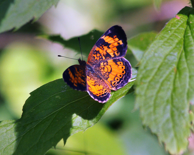 Butterfly seen in the Esopus Bend Nature Preserve in Saugerties, NY, on Monday, July 11, 2016. Photo by Jim Peppler. Copyright Jim Peppler 2016. x