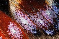 """Tagpfauenauge, das """"Auge"""" im Vorderflügel, Flügel eines Schmetterling mit Schuppen, Schmetterlingsflügel, Flügelschuppen, Flügelschuppe, Tagpfauenauge, Tag-Pfauenauge, Aglais io, Inachis io, Nymphalis io, peacock moth, peacock"""