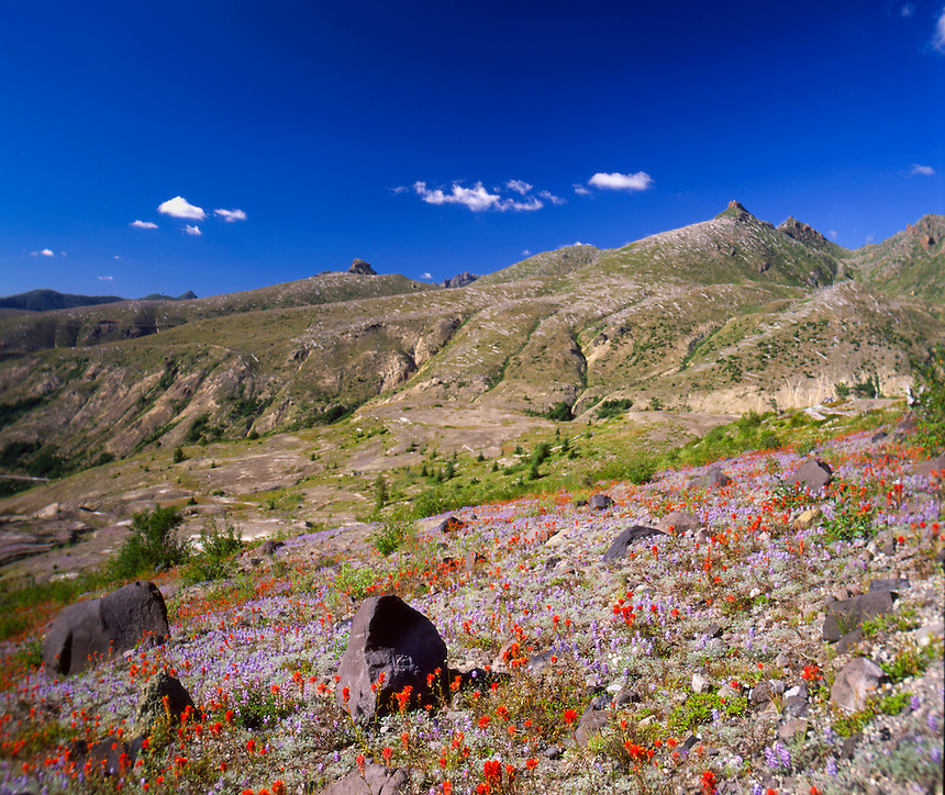 Common Red Paintbrush (Castilleja miniata) and Broadleaf Lupine (Lupinus latifolius) Dot the Landscape at Mt. St. Helens National Volcanic Monument, Washington, US
