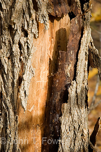 Peeling bark on dying black ash tree, Fraxinus nigra<br />
