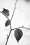 Europa, DEU, Deutschland, Nordrhein Westfalen, NRW, Ruhrgebiet, Muelheim, Herbst, Blatt, Buchenblatt an einem Zweig, Schnee, Kategorien und Themen, Natur, Umwelt, Pflanzen, Pflanzenkunde, Botanik, Biologie, <br /> <br /> [Fuer die Nutzung gelten die jeweils gueltigen Allgemeinen Liefer-und Geschaeftsbedingungen. Nutzung nur gegen Verwendungsmeldung und Nachweis. Download der AGB unter http://www.image-box.com oder werden auf Anfrage zugesendet. Freigabe ist vorher erforderlich. Jede Nutzung des Fotos ist honorarpflichtig gemaess derzeit gueltiger MFM Liste - Kontakt, Uwe Schmid-Fotografie, Duisburg, Tel. (+49).2065.677997, <br /> archiv@image-box.com, www.image-box.com]