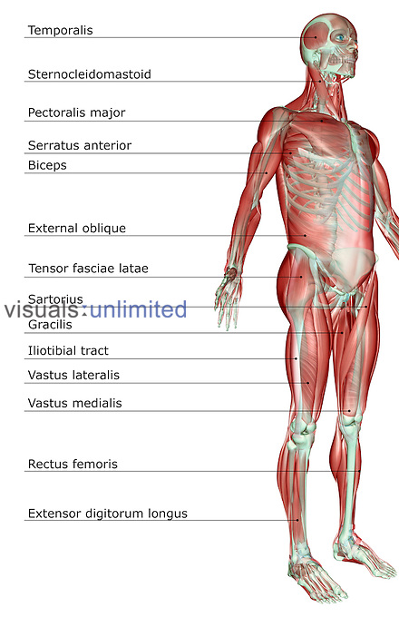 An anterolateral view (right side) of the muscular system. Royalty Free