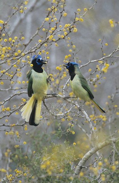 Green Jay, Cyanocorax yncas,adults fighting on blooming Huisache (Acacia farnesiana), Starr County, Rio Grande Valley, Texas, USA
