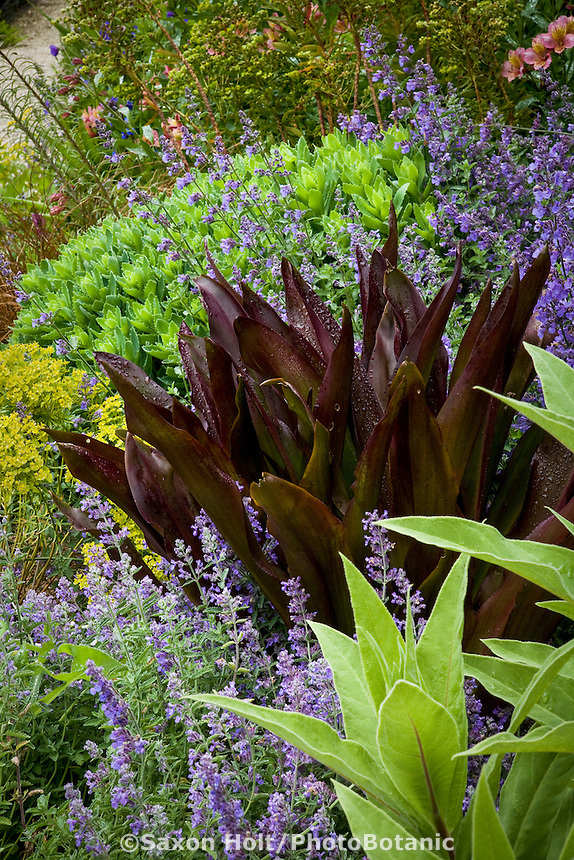 Perennial border with purple foliage Eucomis 'Sparkling Burgundy', igging Dog Nursery