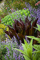 Perennial border with purple foliage Eucomis 'Sparkling Burgundy', igging Dog Nursery
