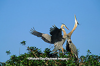 00684-02917 Great Blue Heron (Ardea herodias) arriving at nest, mate skypointing   FL
