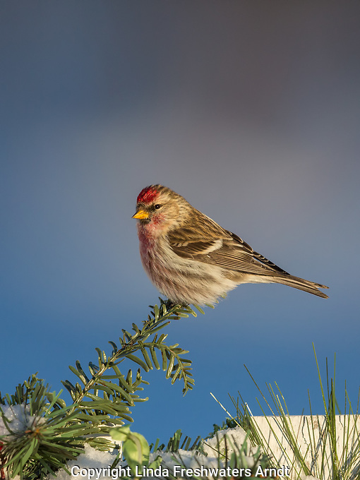 Common redpoll perched a decorated backyard fence in nothern Wisconsin.