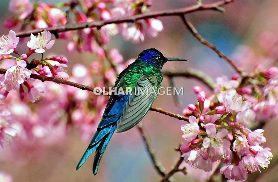 Animais. Aves. Passaro Beija Flor ( Amazilia versicolor). MG. Foto Juca Martins