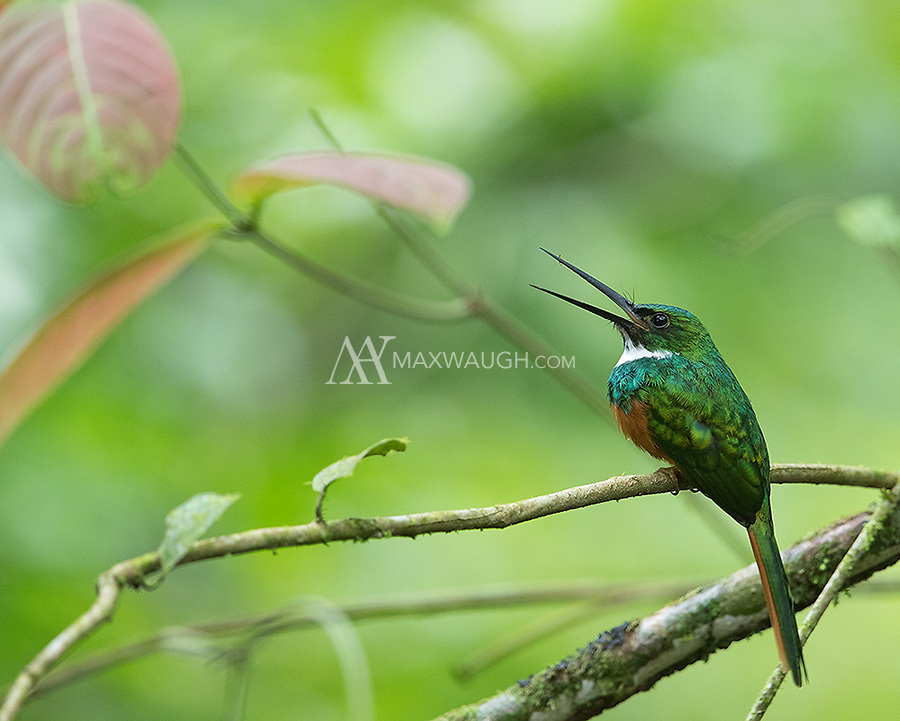 A beautiful species I often see in the rainforest during my Costa Rica adventures.