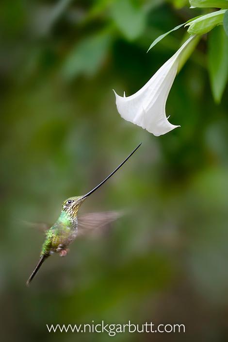 Sword-billed Hummingbird (Ensifera ensifera) feeding at an Angel's or Devil's Trumpet Flower (Datura sp.). Yanacocha montane cloud forest, Ecuador. (digitally modified)