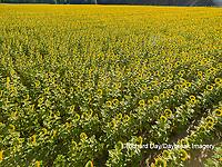 63801-11413 Sunflower field-aerial Jasper Co.  IL