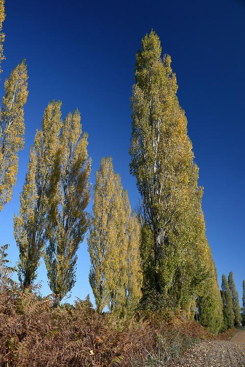 Lombardy Poplar - Populus nigra italica