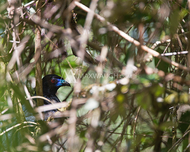 A black guan hides out in the underbrush.